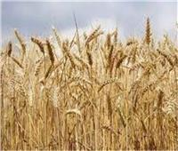 بدء موسم توريد القمح حتىمنتصف يوليو