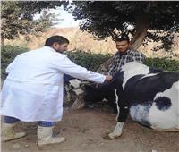 تحصين 46 ألف رأس ماشية ضد الجلد العقدي في بني سويف