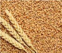 بدء توريد محصول القمح المحلي بالمنيا