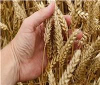 نقيب الفلاحين: متوسط إنتاج الأقماح يزيد عن 2.7 طن للفدان