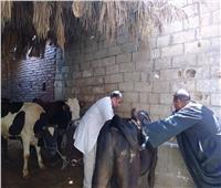 تحصين 63 ألف رأس ماشية ضد «الجلد العقدي وجدري الأغنام» بالفيوم