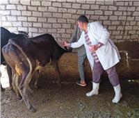 تحصين 82 ألف رأس ماشية بالشرقية ضد التهاب الجلد العقدي والجدرى