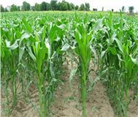 زراعة المنوفية: حصاد44 ألففدان من محصول القمح