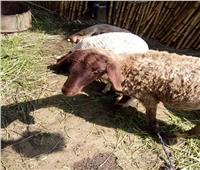«بيطري المنوفية»: تحصين 163 ألف رأس ماشية ضد الجلد العقدي وجدري الأغنام
