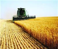 حصاد 4700 فدانا من القمح بالقليوبية