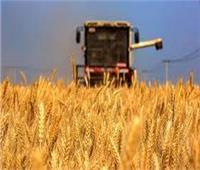 زراعة الشيوخ: محصول حصاد القمح يبشر بالخير