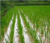 بعد تحذير المخالفين.. نرصد المساحات والمحافظات المقرر زراعتها بالأرز هذا العام