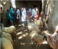 «بيطري المنوفية»: تحصين 179 ألف رأس ماشية ضد مرض الجلد العقدي  صور