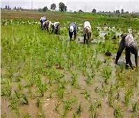 نقيب الفلاحين: تحديد مساحات زراعة الأرز قرار صائب وفي الصالح العام