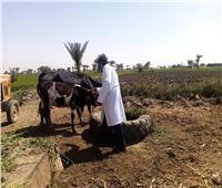 الزراعة: تحصين أكثر من 1.8 مليون رأس ماشية ضد مرض الجلد العقدي وجدري الأغنام