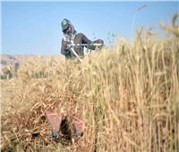 تموين المنيا: استلمنا 71 ألف طن قمح من المزارعين