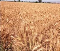 توريد 410 أطنان من القمح لـ47 شونة وصومعة بالشرقية