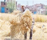موسم حصاد «الذهـــــب الأصفر»