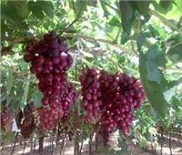 11 نصيحة من «الزراعة» لمزارعي العنب خلال شهر مايو