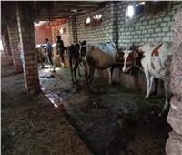 تحصين 107 ألف رأس أبقار وأغنام بالدقهلية ضد مرض الجلد العقدي والجدري