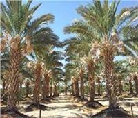 7 نصائح من الزراعة للتعامل مع «أشجار النخيل» خلال شهر مايو