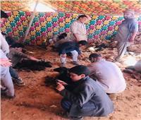 «الجلامة».. موسم حصاد صوف الأغنامفي الصحراء الغربية  فيديو