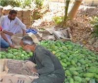 ماراثون جمع المانجو.. بدء حصاد معشوقة المصريين بالأقصر| صور