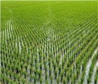 5 توصيات من «الزراعة» لمزارعي محصول الأرز يجب مراعاتها خلال شهر يونيو