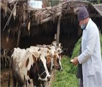 تحصين 110 ألف و842 رأس ماشية في بني سويف