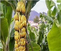 8 نصائح لمزارعي أشجار الموز مع بداية جمعالأصناف المبكرة