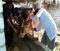 تحصين 112 ألف رأس ماشية ضد الجلد العقدي وجدري الضأن في بني سويف
