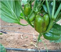 «الزراعة».. تصدر أبرز أنشطة معهد بحوث أمراض النباتات خلال شهر