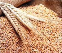 زراعة المنيا: استلام 359 ألف طن قمح محلي