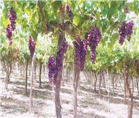بشاير الخير بمزارع العنب في مدينة السادات