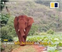 انشق عن قطيعه.. رحلة نادرة لفيل في الصين  فيديو