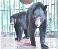 تشريح جثة «دونجوان» حديقة الحيوان