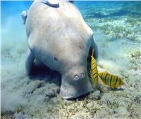 حكايات| «الأطوم» مكنسة البحر.. يعيش 70 عامًا ومهدد بالانقراض