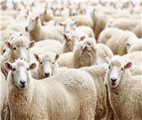 قبل حلول عيد الأضحى.. استيراد 180 ألف رأس من الماشية لتوفير اللحوم بالأسواق