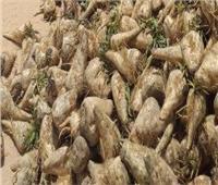الزراعة والتموين تبحثان مع شركات السكر حل أزمة توريد 600 ألف طن بنجر بالمنيا