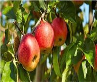 «الزراعة» تصدر روشتة نصائح لمزارعي محصول التفاح