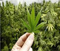 ولاية أمريكية جديدة تشرع استخدام الماريجوانا