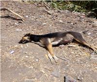 حملات بيطرية للقضاء على الكلاب الضالة بالمحلة