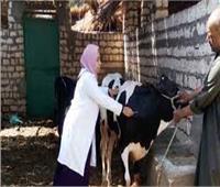بدء حملة تحصين الماشية ضد الحمى القلاعية و«الوادي المتصدع» بقنا.. السبت