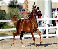 بها أهم 5 سلالات عربية أصيلة.. محطة الزهراء الأولى عالميا في تصدير الخيول