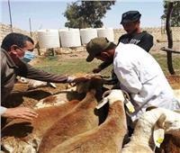 انطلاق الحملة الثانية لتطعيم الثروة الحيوانية ضد الحمى القلاعية بالشرقية