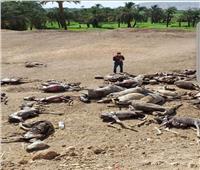 نيابة اخميم تحقق في العثور على 30 حمارا مسلوخا بالصحراء