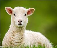 «الزراعة»: نظر الخروف لأعلى دليل على الحيوية