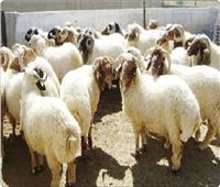 «حماية المستهلك» يقدم نصائح لشراء خروف العيد