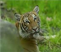 حديقة حيوانات سان دييجو تعلن إصابة «نمر» بفيروس كورونا