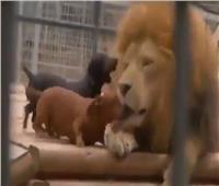 صداقة من نوع نادر.. كلبان قزمان يداعبان أسدا ضخما في حديقة الحيوان| فيديو