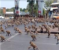 معركة شرسة بين القرود في أحد شوارع تايلاند