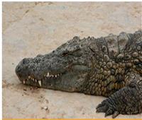 بسبب هجوم تمساح.. فندق عالمي يخسر كل نجوم تقييمه