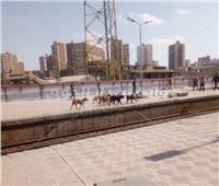 «حمير وكلاب ضالة» تتجول برصيف قطارات السكه الحديد بالمحلة  صور