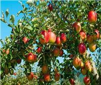 توصياتلمزارعي محصول التفاح يجب مراعاتها خلال شهر أغسطس