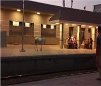 مشهد كوميدي.. «حمار» يقتحم رصيف محطة قطار بالغربية